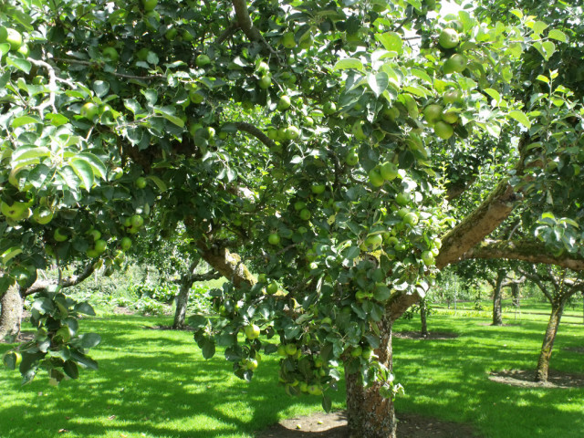 Houghton Hall - Walled Garden - Fruit and Vegetable Garden - Apple tree